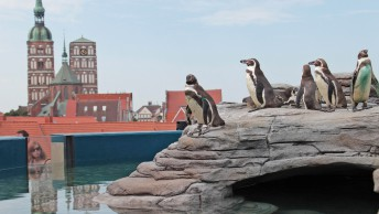 Pinguine-in-Stralsund