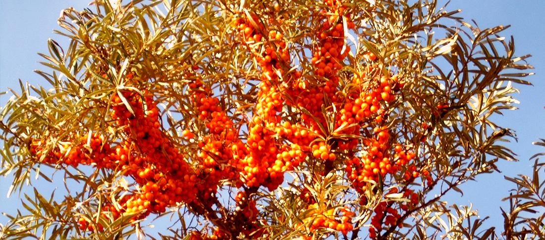 orangefarbene perlen liefern vitamine pur insel r gen. Black Bedroom Furniture Sets. Home Design Ideas