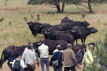 Wasserbüffel in der Prärie von Prora