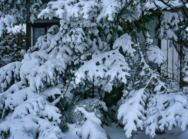 Eine Weihnachtstradition: Tannenbaumschlagen auf Rügen